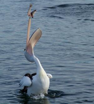 pelican-91141 1920